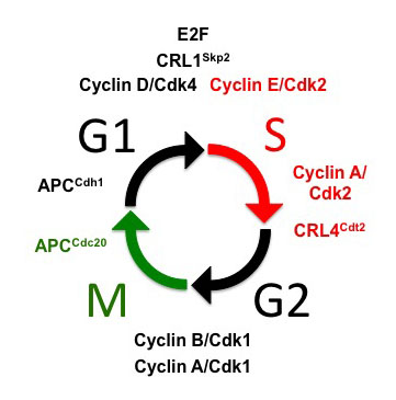 Canonical cell cycle & key regulators